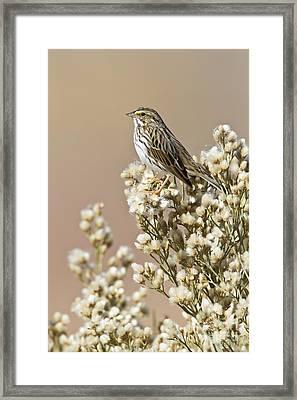 Framed Print featuring the photograph Savannah Sparrow by Bryan Keil