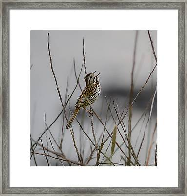 Savannah Sparrow Framed Print by Marty Saccone