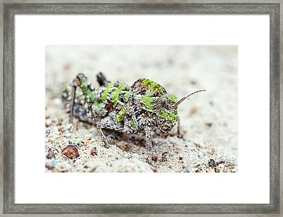 Saw-backed Locust Framed Print by Peter Chadwick