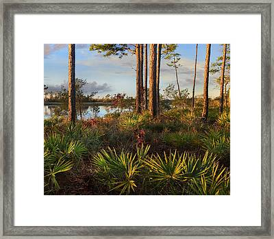 Saw Palmetto And Longleaf Pine Framed Print by Tim Fitzharris