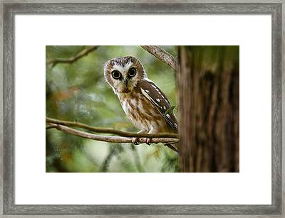 Saw-whet Owl Pictures  10 Framed Print