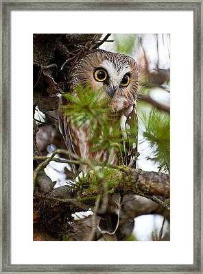 Saw-whet Owl Pictures  11 Framed Print