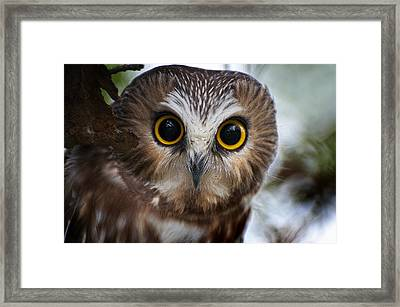 Saw-whet Owl Pictures  12 Framed Print