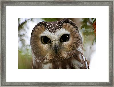 Saw-whet Owl Pictures  13 Framed Print