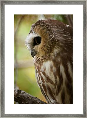 Saw-whet Owl Pictures  14 Framed Print