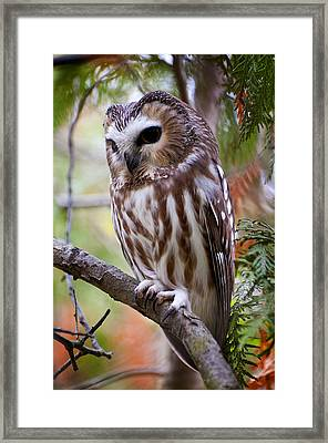Saw-whet Owl Pictures  15 Framed Print