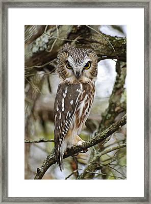 Saw-whet Owl Pictures  7 Framed Print