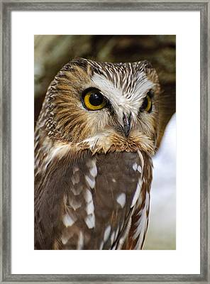Saw-whet Owl Pictures  8 Framed Print