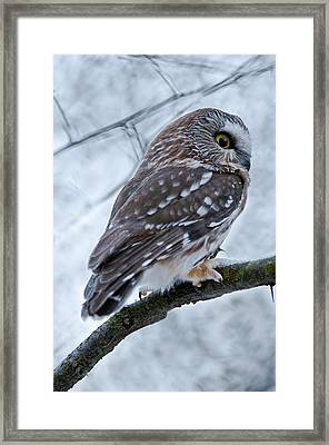 Saw-whet Owl Pictures  9 Framed Print
