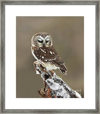 Saw Whet Owl Sleeping In A Winter Forest Framed Print by Inspired Nature Photography Fine Art Photography