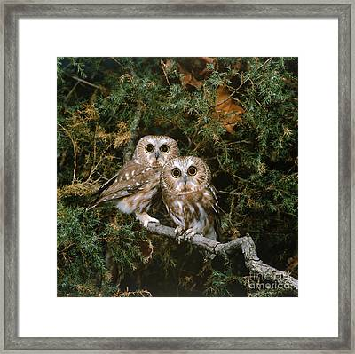 Saw-whet Owls Framed Print by G Ronald Austing