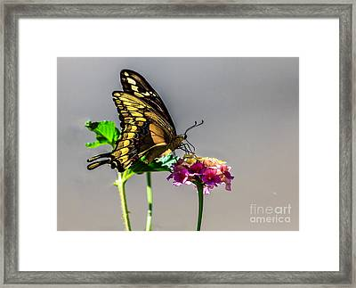 Sawallowtail Butterfly Framed Print by Robert Bales