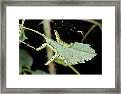 Sawfly Larvae On Rose Leaf Framed Print