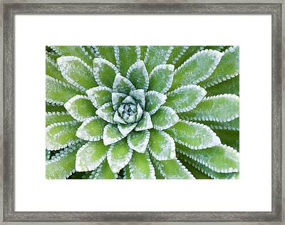 Saxifraga 'esther' Leaves Abstract Framed Print by Nigel Downer