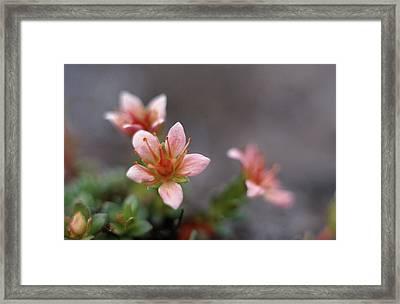 Saxifraga Nathorstii Flowers Framed Print by Simon Fraser/science Photo Library