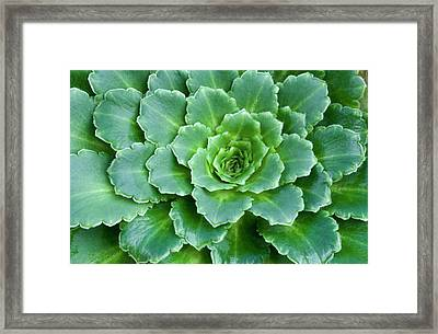 Saxifraga X Ubium Leaves Abstract Framed Print by Nigel Downer