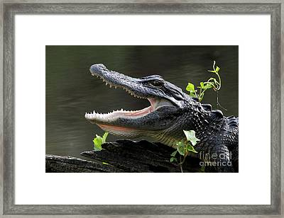 Say Aah - American Alligator Framed Print