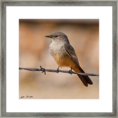 Say's Phoebe On A Barbed Wire Framed Print