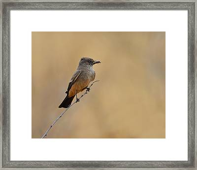 Say's Phoebe Framed Print by Tony Beck