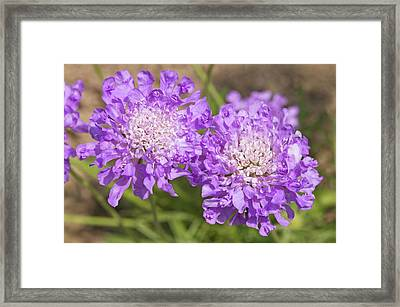 Scabiosa 'butterfly Blue' Flowers Framed Print by Ann Pickford
