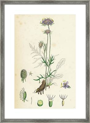 Scabiosa Columbaria Small Scabious Framed Print