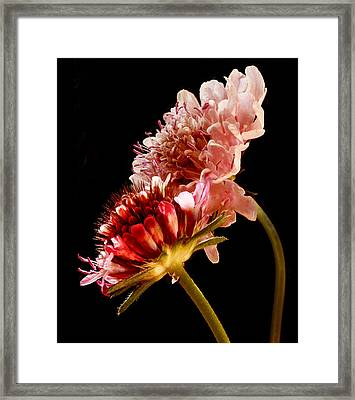 Scabiosa Fraternal Twins Framed Print
