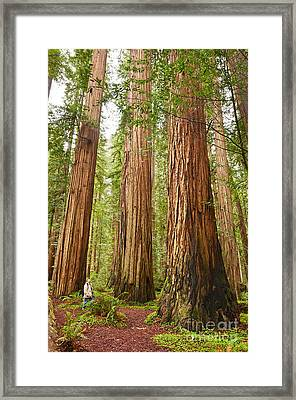 Scale - The Beautiful And Massive Giant Redwoods Sequoia Sempervirens In Redwood National Park. Framed Print