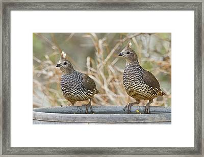 Scaled Quail (callipepla Squamata Framed Print by Larry Ditto