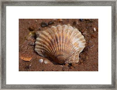 Scallop Shell Framed Print by Allan Morrison