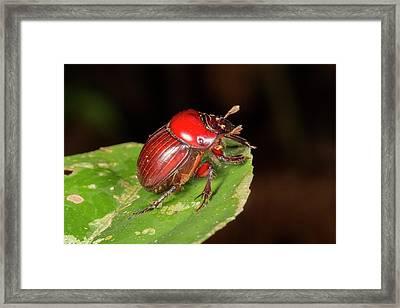 Scarab Beetle Framed Print