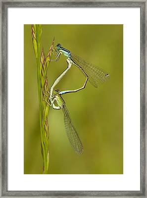 Scarce Blue-tailed Damselfly Pair Framed Print