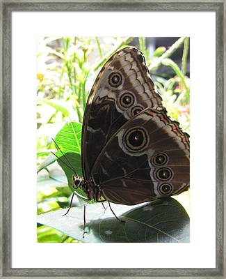 Scarce Morpho Framed Print by Jennifer Wheatley Wolf
