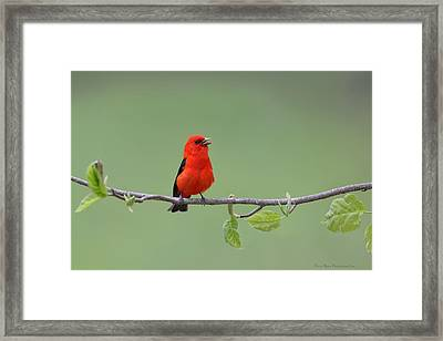 Scarlet And Green Framed Print by Daniel Behm