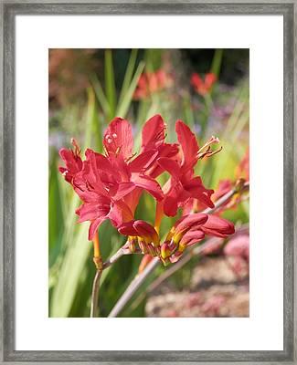 Scarlet Beauty 1 Framed Print