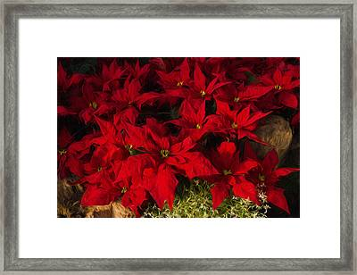 Scarlet Christmas Poinsettias Impressions Framed Print