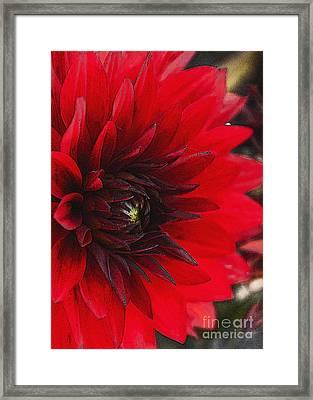Scarlet Dahlia Framed Print