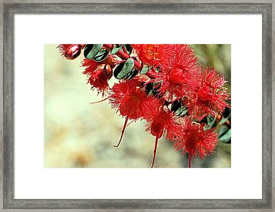 Scarlet Feather Flowers Framed Print