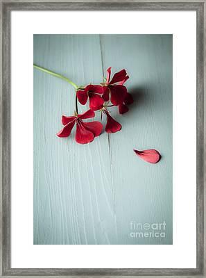 Scarlet Geranium Framed Print by Jan Bickerton