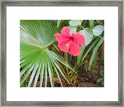 Scarlet Hibiscus Framed Print by Kay Gilley