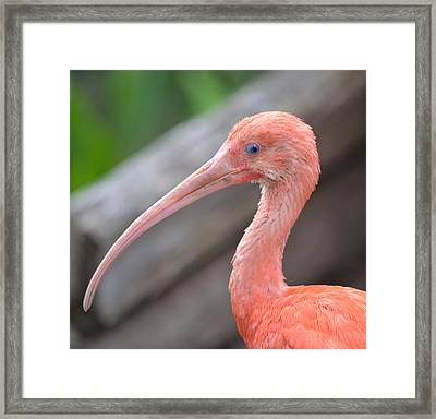 Scarlet Ibis 1 Framed Print by Richard Bryce and Family