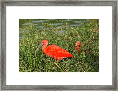 Scarlet Ibis (eudocimus Ruber Framed Print