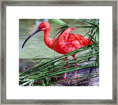 Scarlet Ibis Framed Print by Millard H. Sharp