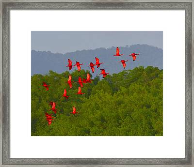 Scarlet Ibis Framed Print by Tony Beck