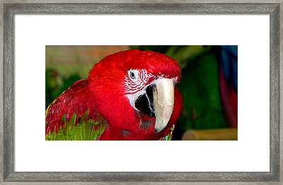 Framed Print featuring the photograph Scarlet Macaw by Bill Swartwout