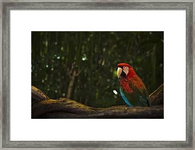 Scarlet Macaw Profile Framed Print by Bradley R Youngberg