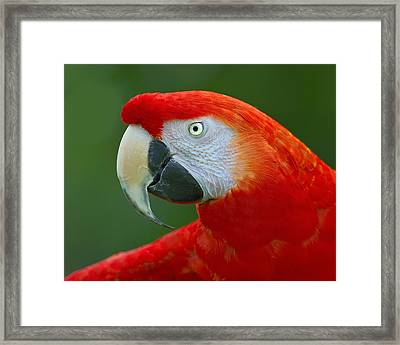 Scarlet Macaw Framed Print by Tony Beck