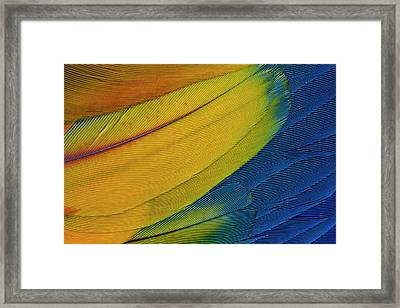 Scarlet Macaw Wing Covert Feathers Framed Print by Darrell Gulin