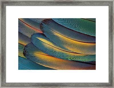 Scarlet Macaw Wing Feathers Fan Design Framed Print by Darrell Gulin