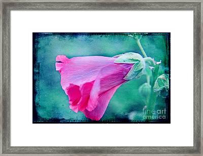 Scarlet Mallow Framed Print