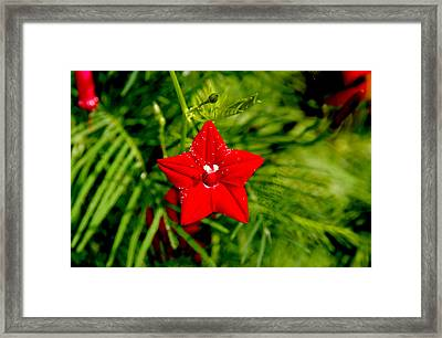 Framed Print featuring the photograph Scarlet Morning Glory - Horizontal by Ramabhadran Thirupattur